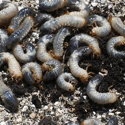 how to get rid of grub worms how to get rid of stuff