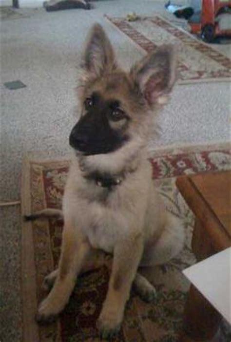 meet trip my 3 1/2 month old german shepherd