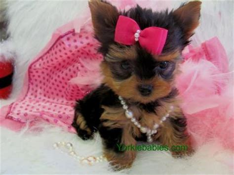 all about teacup yorkies yorkie breed information teacup yorkie care about yorkie breed