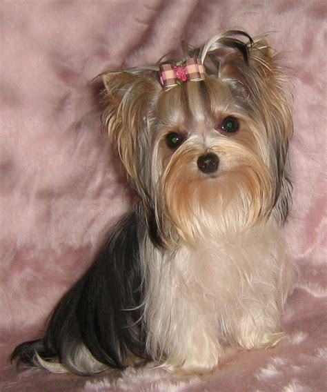 what are biewer yorkies biewer yorkie terrier for l