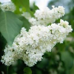 fragrant flowering plants lilac fragrant flowers of the garden garden ideas