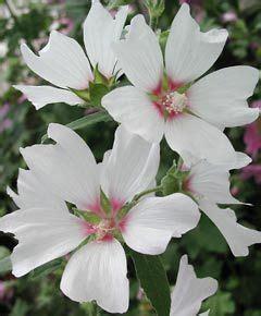 Winterharte Blumen Die Lange Blühen 120 by Lavatera Olbia Hybride Barnsley Buschmalve Tr 246 Ge Und