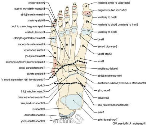 diagram of foot foot skeletal anatomy human anatomy diagram