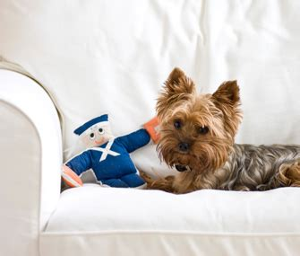 dog digging on couch help my dog likes to hide his toys mydogsrock com