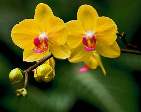 Orchid Yellow yellow orchid photograph by michael fisher