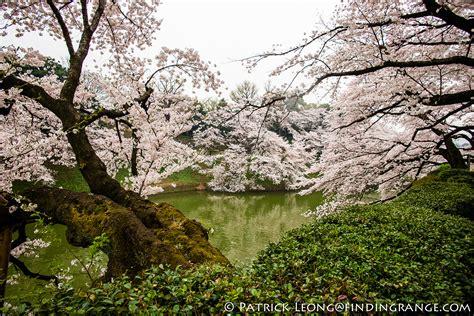 6 cherry tree groveland ma cherry blossom season kitanomaru park tokyo japan
