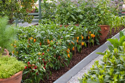 Growing Peppers Corn Vegetables In Backyard Plant Flower And Vegetable Garden