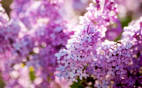 lilacs flowers lilac flower purple photo 34733603 fanpop