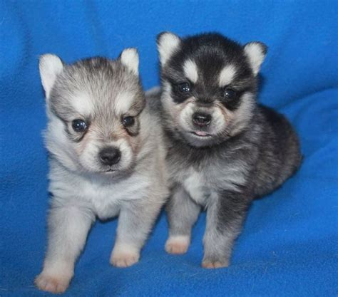 puppies for sale midland tx 815 best alaskan klee images on baby dogs dieren and dogs