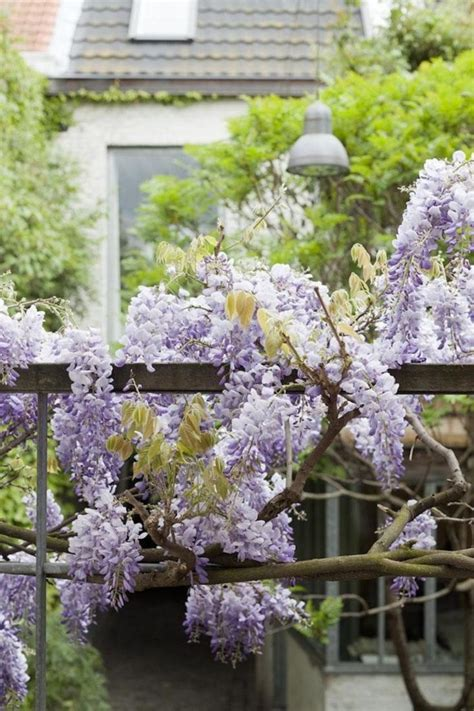 wisteria climbing plant top 10 beautiful climbing plants for fences and walls