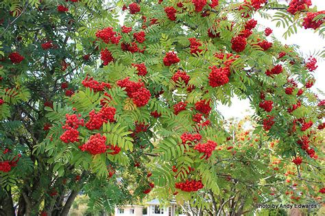 rowan tree fruit t e r r a i n taranaki educational resource research