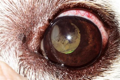 uveitis in dogs signs diagnosis and treatment of uveitis in companion animals vet times