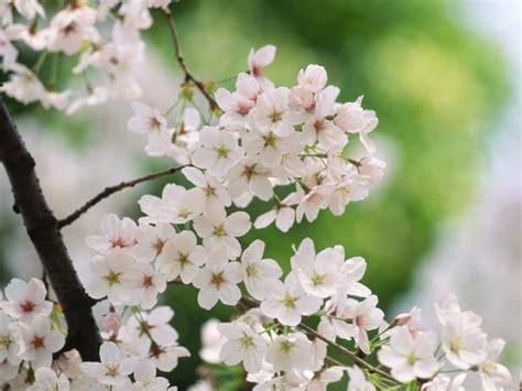 types of ornamental cherry trees hgtv