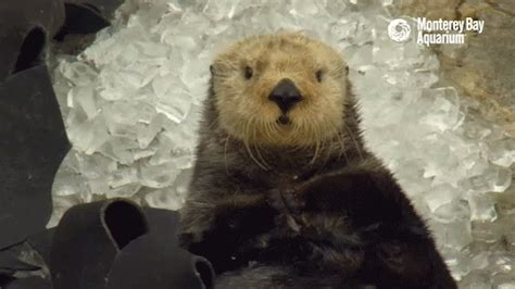 sleepy gif tired sea otter gif by monterey bay aquarium find on giphy
