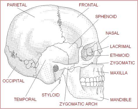 diagram of the skull anatomy bones of worksheet for search
