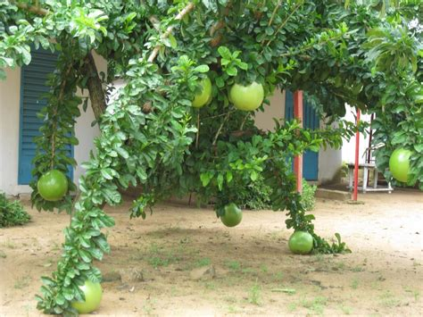 stunning gourd tree crescentia sp 20 seeds - Tree With Gourd Like Fruit