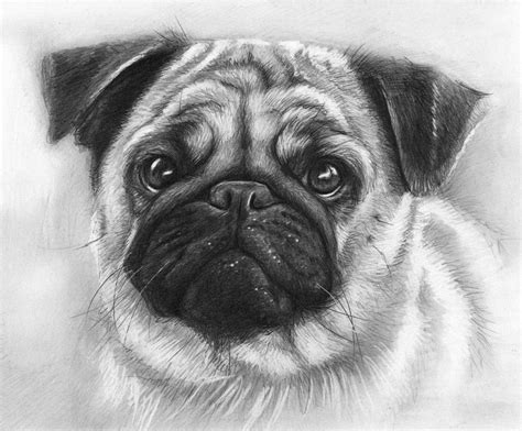 what colors do pugs come in 19 animal drawings free premium templates