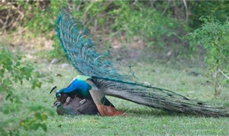 National Bird Of India Essay by Peacock The National Bird Of India Facts At A Glance