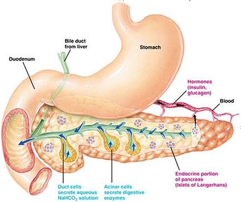 diagram of pancreas in structure and functions of pancreas gopetsamerica