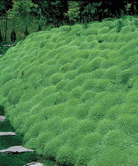 25 best ideas about irish moss on pinterest ground cover shade ground cover plants and
