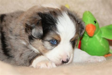 blue merle miniature australian shepherd puppies for sale blue horizon australian shepherds