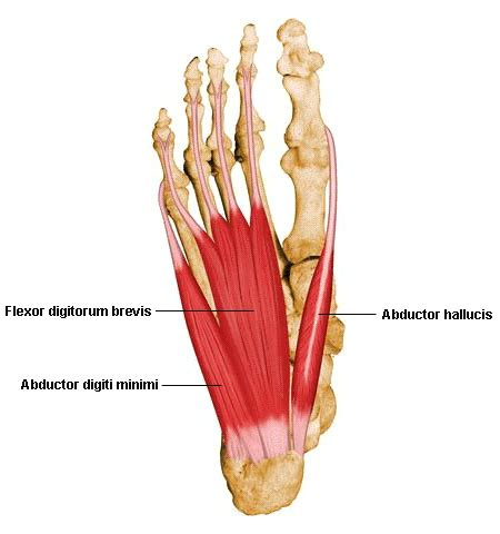 Planter Of Foot by Plantar Foot Layer 1
