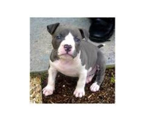 yellow pitbull puppies for sale pitbull page 9 puppies for sale