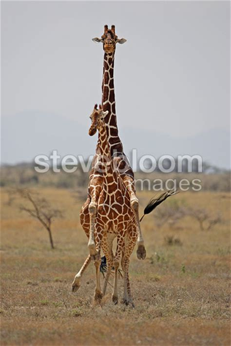 how do dogs mate how do giraffes mate