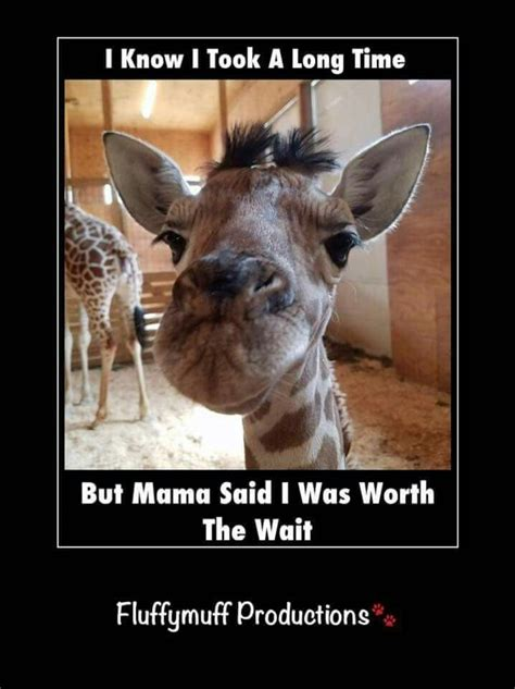 Giraffe Spider Meme - 25 best ideas about funny giraffe pictures on pinterest