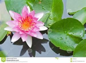 Lotus Flower Water Water Or Lotus Flower Floating On Pond Royalty Free