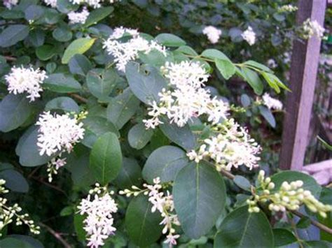 4 petal white flower shrub choice image flower