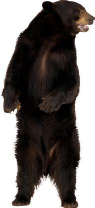 angry bear png image   png images