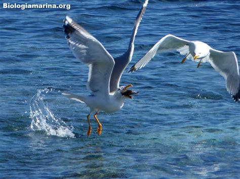 gabbiano reale mediterraneo gabbiano reale 55 biologia marina mediterraneo