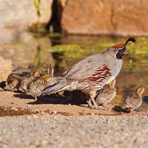Backyard Quail by Getting Started Raising Quail Animals Grit Magazine