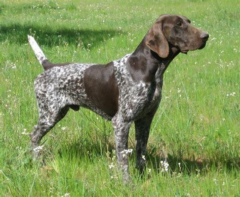 imagenes de setter ingles imagenes de perros de caza