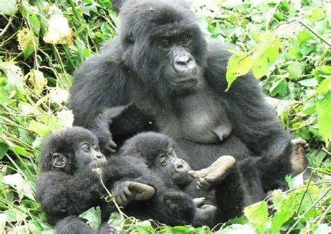 Eastern Gorilla | Animal Wildlife