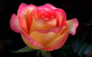 beautiful colours beautiful color roses wallpaper 18577531 fanpop page 7