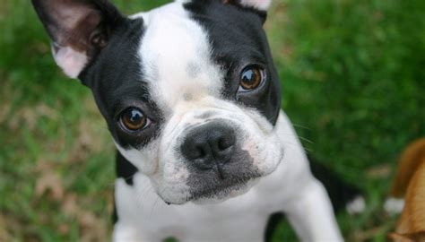 heat l for puppies 18 things all boston terrier owners must never forget