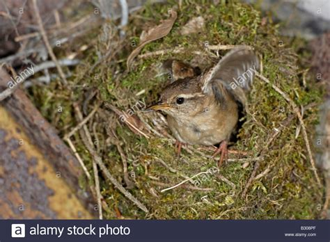 winter wren at nest stock photo royalty free image
