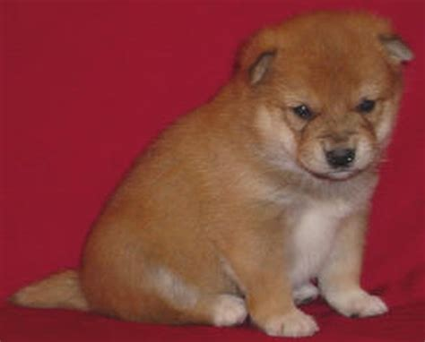 shiba inu puppy for sale purebred pups sold pups photo 14