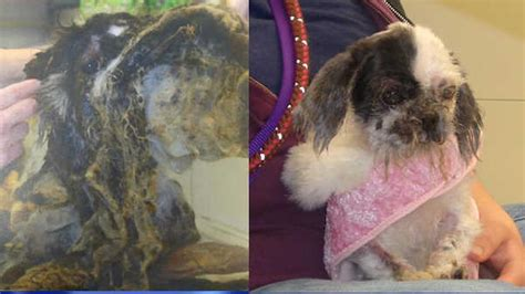 matted photos small dog covered in 4 lbs of matted fur rescued abc7ny com