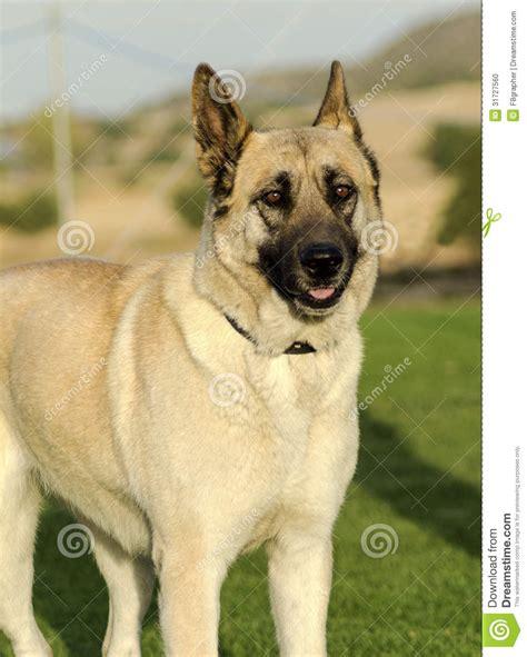 fawn puppy german shepherd fawn stock photo image 31727560