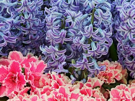 fiori dalia fiori dalia fiori delle piante