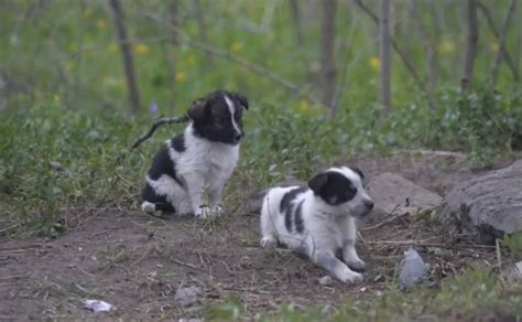 chernobyl puppies a 231 227 o tenta salvar c 227 es abandonados em chernobyl