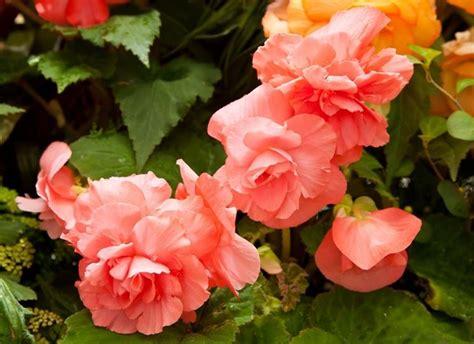 fiore begonia begonia piante da giardino fiori giardino
