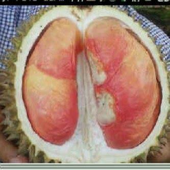 Bibit Durian Pelangi durian pelangi bibit durian pelangi jual bibit durian