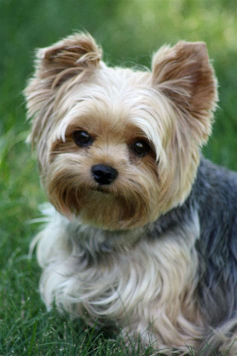 yorkies dogs pictures cutest puppy cut for the home pinterest yorkies