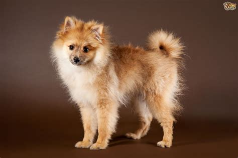 german spitz puppies german spitz breed information buying advice photos and facts pets4homes