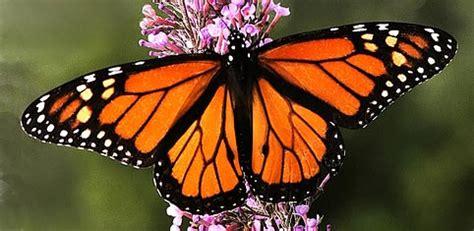 imagenes de mariposas monarcas 191 cu 225 nto tiempo viven las mariposas curiosidades