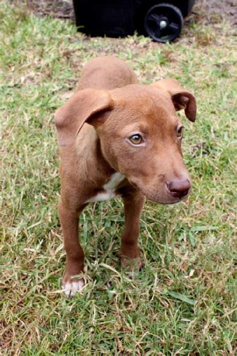 vizsla mix puppies the vizsla mix puppy s web page